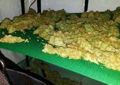Policjanci zlikwidowali domową plantację marihuany